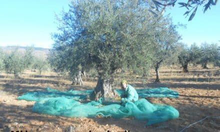 Cogiendo olivas para tener nuestro propio aceite 1